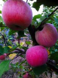 Braeburn Apples 2